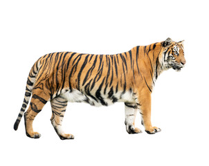Foto op Canvas Tijger bengal tiger isolated