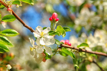 Spring blossoms, apple tree flowers. nature background