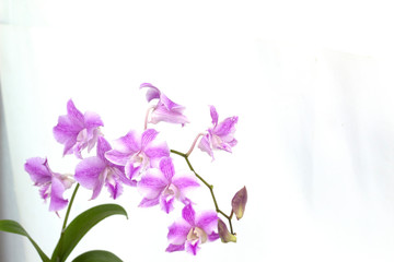 Dendrobium orchids on white background