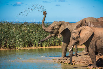 Tuinposter Olifant Elephant's herd at water hole, South Africa