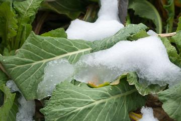 野沢菜に積もった溶けかけ春の雪