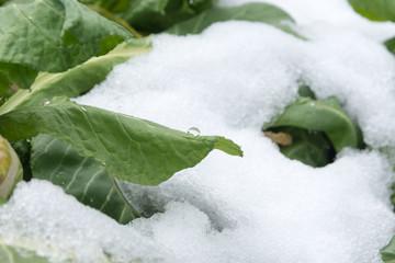 野沢菜の葉に積もる春の雪