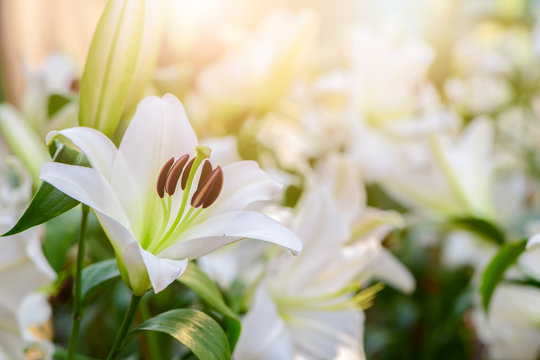Close up white Lilly blooming in the garden.