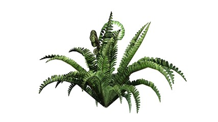 Boston fern in the summer - isolated on white background
