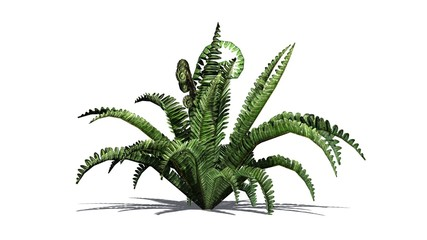 Boston fern in the summer with shadow on the floor - isolated on white background