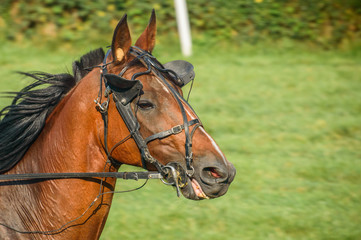 Bay horse on equestrian competition.