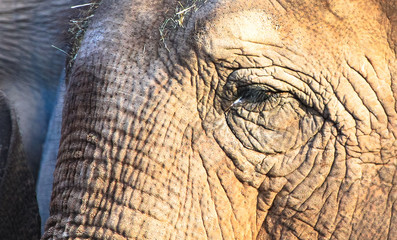 Closeup of the face of an adult asian elephant (Elephas maximus).