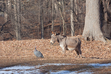 The Donkey and The Guineafowl