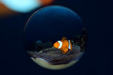 Incredible underwater world - Amphiprion ocellaris - False clown anemonfish (Western clownfish). Diving in Bali.