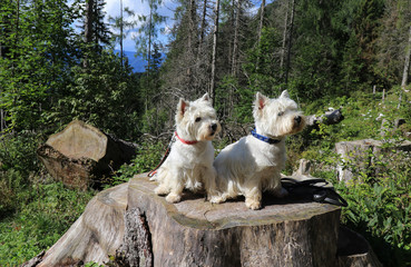 Two West Highland white terrier on a tree stump in the forest in summer Wall mural