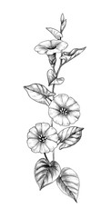 Hand Drawn Bindweed Flower with Leaves