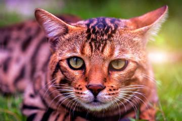 Bengal male cat .