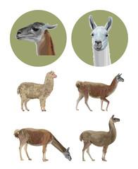 Set of vector llamas
