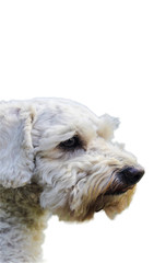 White furry puppy dog