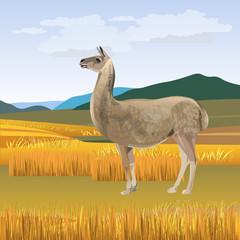 Llama grazing vector