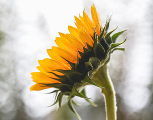 Close-up of wet sunflower growing against sky