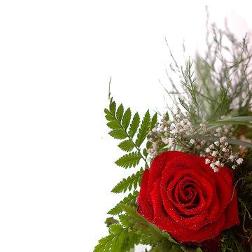 rote Rose vor weißem Hintergrund mit Schleierkraut