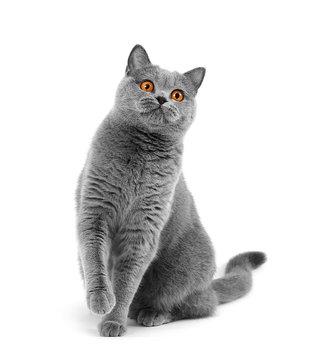 Purebred British gray cat sitting on a white background