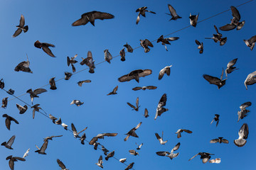 Fliegende Tauben am blauen Himmel. Flying doves at blue sky.