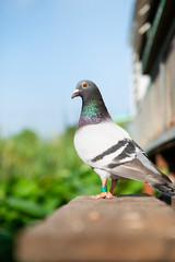 full body of homing pigeon standing outdoor