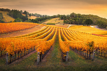 Photo sur Plexiglas Vignoble Autumn Vineyard