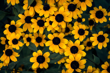 Many yellow flowers. Background for text.