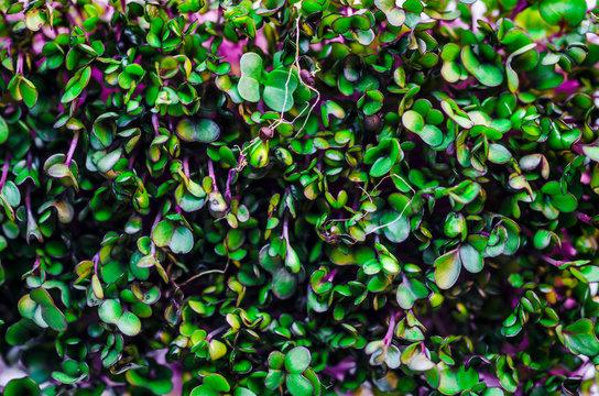 Purple Microgreens