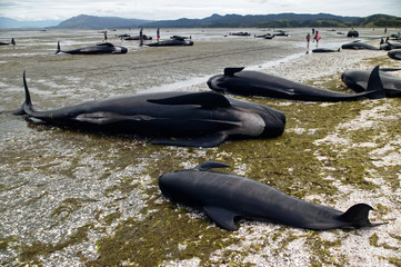 Dead whales line the beach at Farewell Spit after a whale stranding