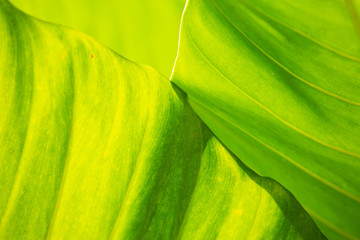Green leaves pattern texture background, Close up & Macro shot, Selective focus, Abstract graphic design