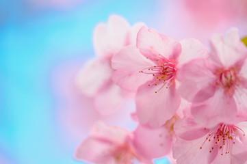 日本の春 河津桜