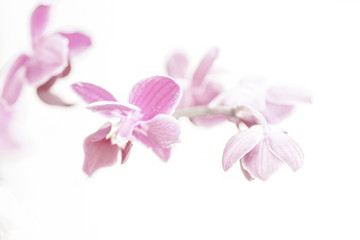 pink Phalaenopsis Orchid flower in winter or spring day tropical garden isolated on white background.