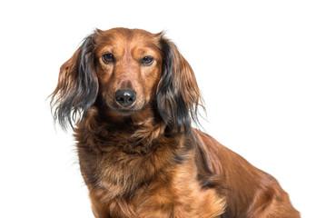 Dachshund, sausage dog, wiener dog sitting in front of white bac