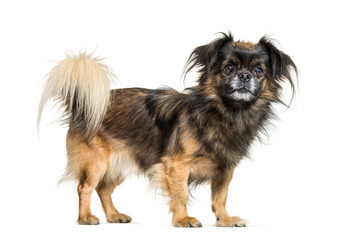 Wall Mural - Tibetan spaniel in front of white background