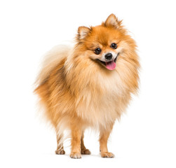Wall Mural - Pomeranian, 2 years old, in front of white background