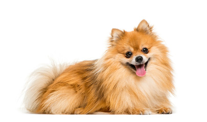 Wall Mural - Pomeranian, 2 years old, lying in front of white background