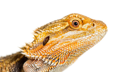 Close up of Bearded Dragon, Pogona vitticeps, in front of white