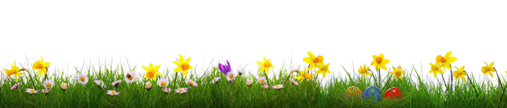 Green grass and yellow narcissus field .Colorful easter eggs.
