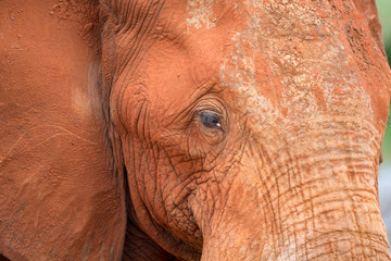 The face of a big red elephant