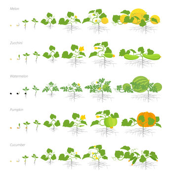 Set of growth stages cucurbitaceae plants. Pumpkin melon and watermelon zucchini or courgette and cucumber plant. Life cycle.