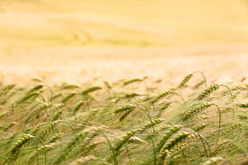 Wide Agricultural Cereal Field / Grain plants ears close up at golden field horizon background (copy space)