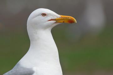 Caspian gull portrait (Larus cachinnans)