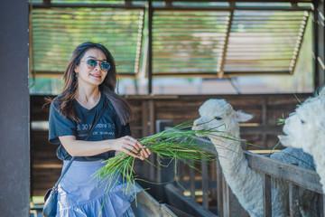 Women feeding alpaca in the farm.