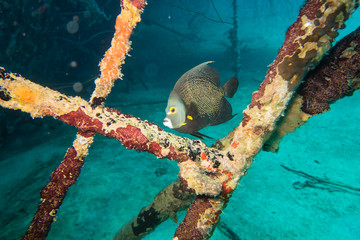 French angelfish (pomacanthus paru) looking for protection between poles on the deck on the underwater ship wreck of the Hilma Hooker sunken on the reef of tropical Bonaire island