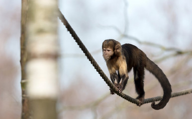 Golden-bellied capuchin climbing a thick rope