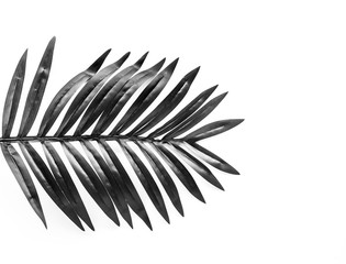 Black and white tropical leaves foliage plant close up with white copy space background