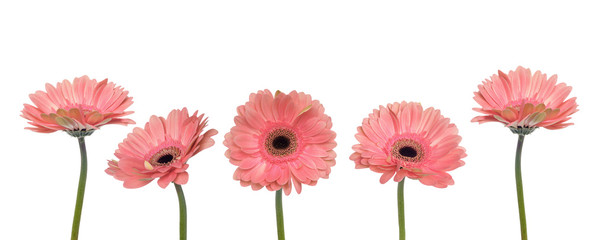 Papiers peints Gerbera Gerbera flowers isolated on white background.