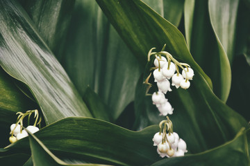 small delicate white lily of the valley among dark green leaves in the spring garden