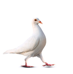 white feather pigeon bird keep walking isolate white background