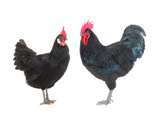 black hen and cockerel on a white