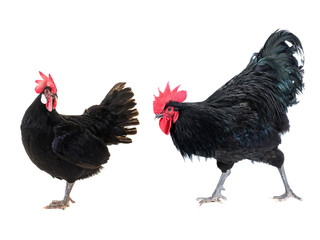 black rooster and hen isolated on a white